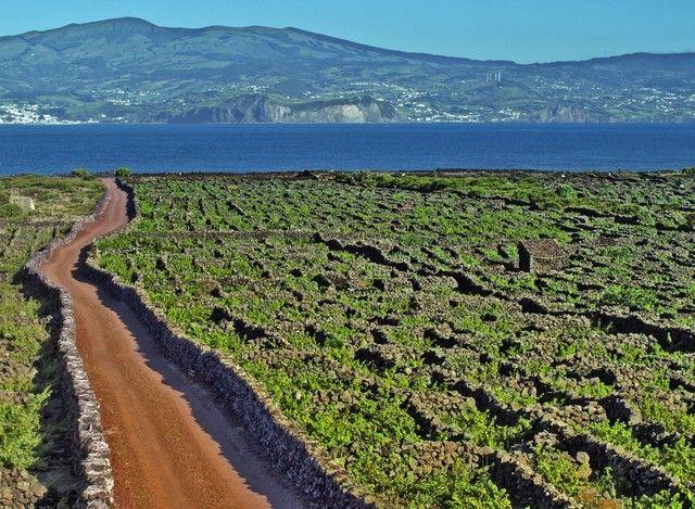 Resultado de imagem para açores wineyard