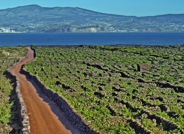 Image result for vineyards pico island